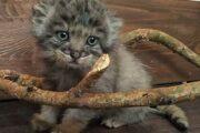 В Улан-Удэ трех котят манула спасли от истощения: Люди: Моя страна: Lenta.ru