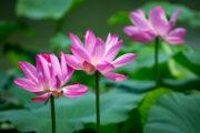 В Астраханской области создали карту цветения лотосов: Природа: Моя страна: Lenta.ru