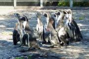 В красноярский зоопарк переехали восемь московских пингвинов: Природа: Моя страна: Lenta.ru