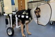 В Хабаровске открыли первую мастерскую колясок для собак-инвалидов: Люди: Моя страна: Lenta.ru