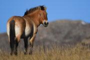 Лошадь Пржевальского внесли в Красную книгу: Природа: Моя страна: Lenta.ru