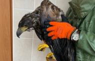Россиянин спас от гибели краснокнижного орлана-белохвоста в Череповце: Природа: Моя страна: Lenta.ru
